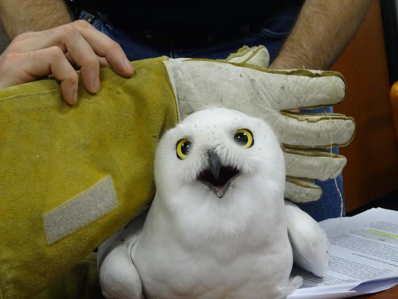 Snowy owl being tagged with satellite transmitter at USDA Wildlife Services in Okemos