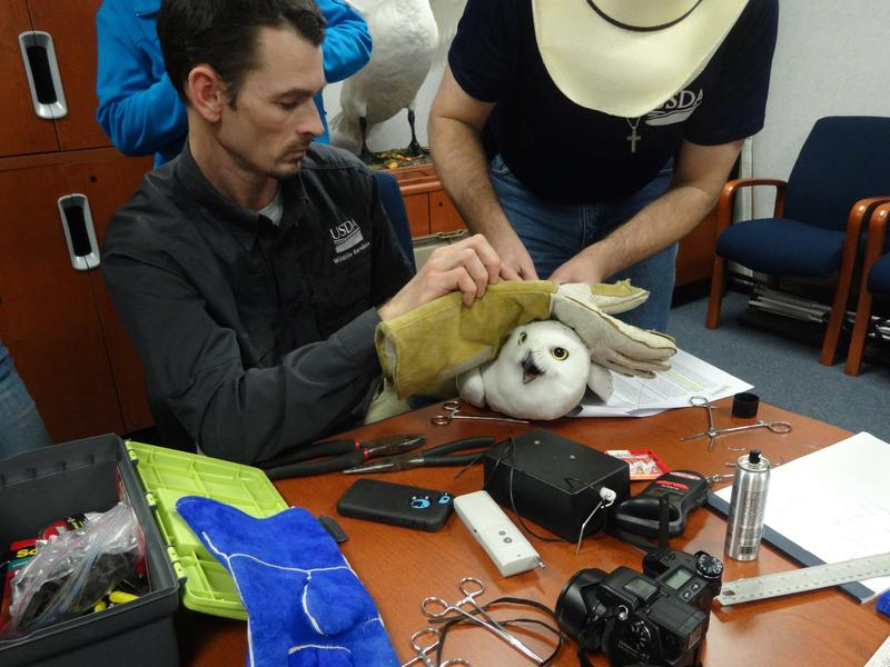 USDA's Aaron Bowden and Brian Washburn affixing satellite transmitter to Snowy owl