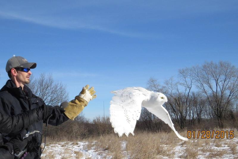 Aaron Bowden releasing the Snowy owl at Waterloo Recreation Area