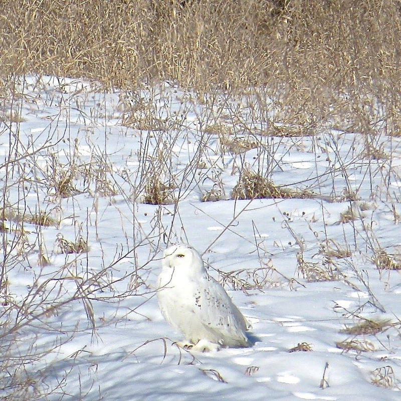 Snowy owl resting after release