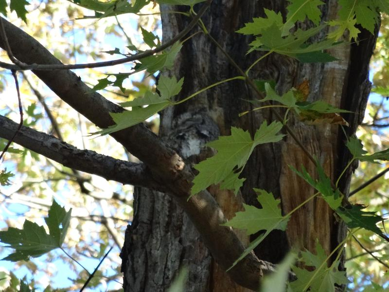 """Invisible"" Screech owl roosting in tree at Bach Elementary, Ann Arbor"