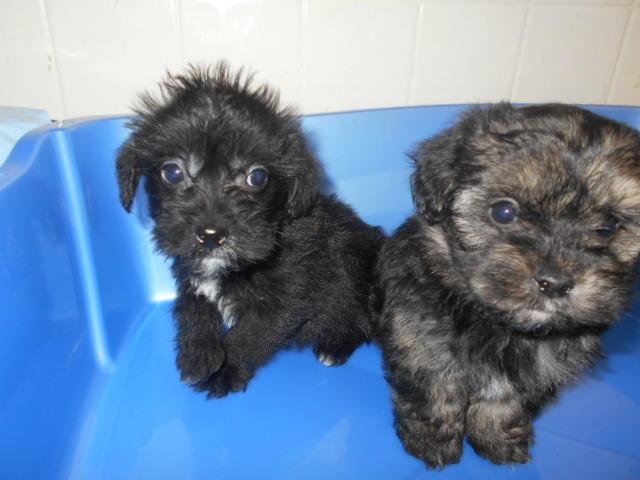 Stolen Male Yorkie-Poo Puppy (Left)