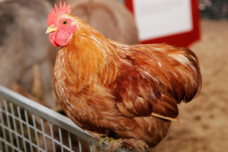 Ann Arbor's city council is considering allowing schools to raise chickens for educational purposes.