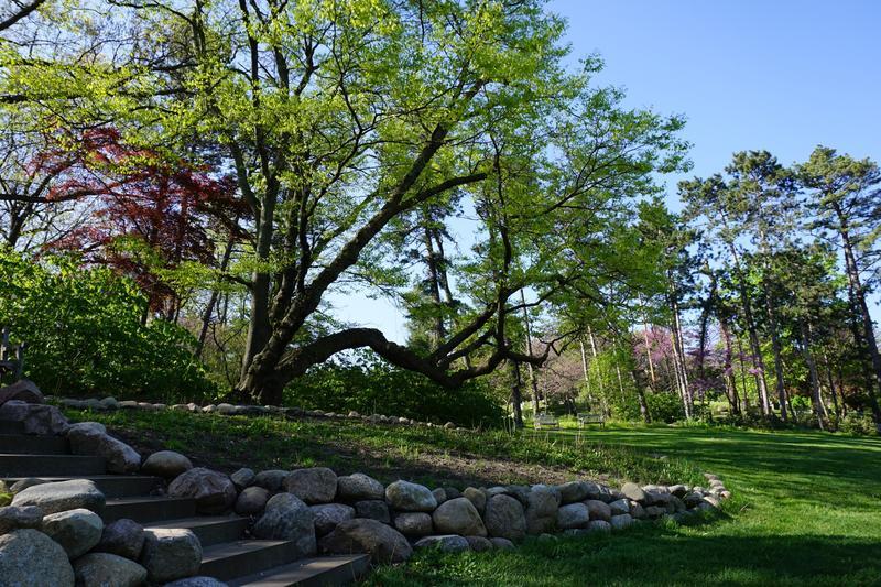 Yellowwood tree at Nichols Arboretum.