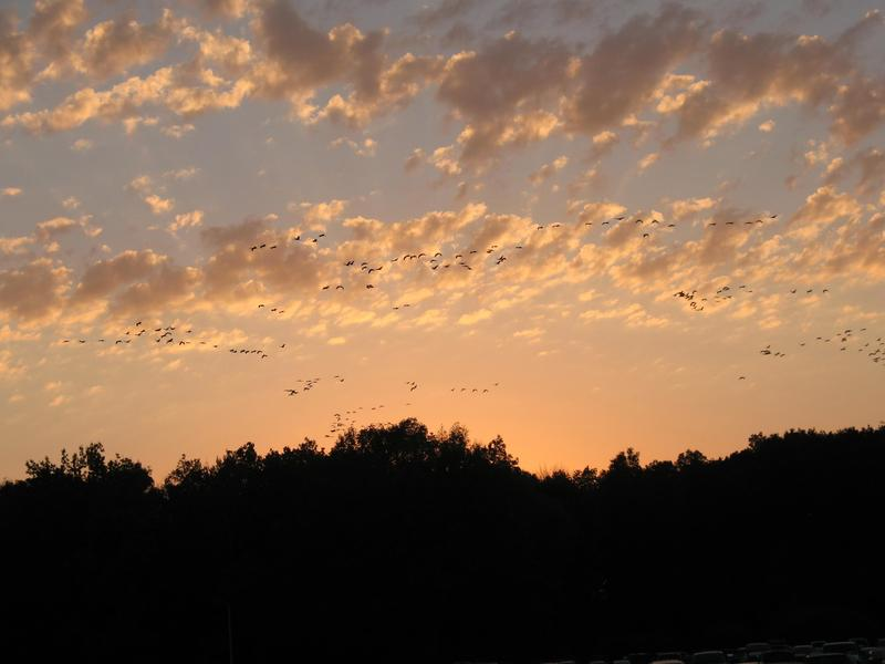 Sandhill Cranes in the sunset