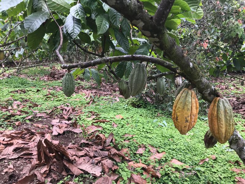 Cocoa trees in Mindo Ecuador.