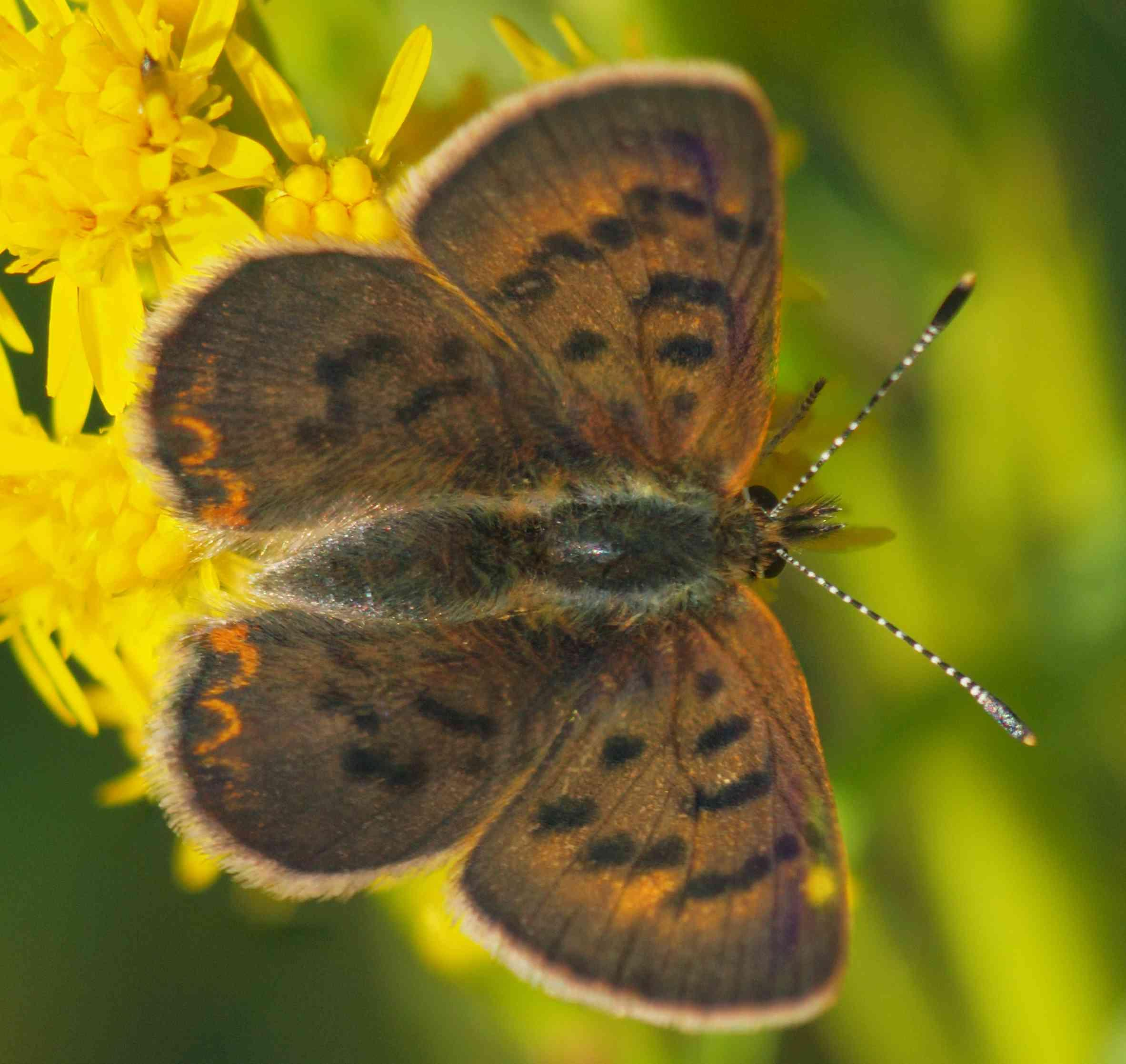Today, Weu0027ll Focuses On Butterfly Species In Washtenaw County. There Are  More Than You Might Think, And These Delicate Creatures Can Be A Good  Indicator As ...
