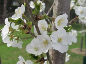 The Pittsburgh Sakura Project has planted several different types of cherry trees over the years it has been working in North Park.