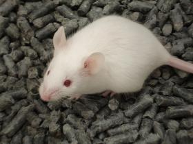 A recent study with lab mice could reverse some of the effects of Alzheimer's Disease