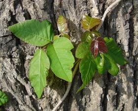Poison Ivy has gotten bigger, badder, and more dangerous as CO2 levels have spiked.