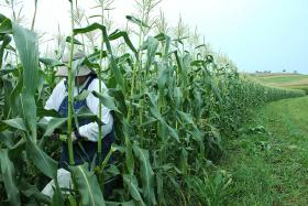 Kit Eagan picks corn for Greater Pittsburgh Community Food Bank clients.