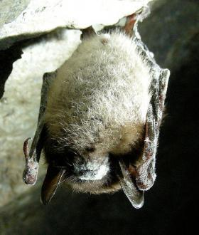 Little Brown Bat with deadly White Nose Syndrome