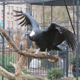 The female Andean condor Precious stretches her wings at the National Aviary in Pittsburgh.