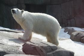 Pittsburgh Zoo officials hope that 9 year-old Koda will mate with resident female Kobe and 2 visiting female polar bears.
