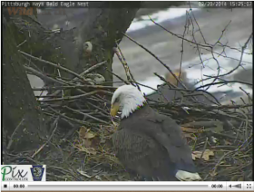 A screen capture of a live video feed shows a bald eagle in its nest in Hays.