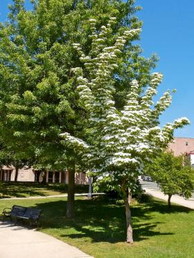 The City of Pittsburgh and the Pittsburgh Shade Tree Commission will give away native Dogwood seedlings for Earth Day. The tree, pictured fully-grown, doesn't get too big.