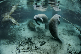 Although manatees are endangered, many can be seen in the Everglades.