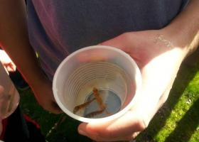 8th graders scooped the Brook trout they raised from eggs into plastic cups to release them into a local stream.