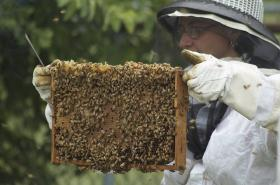 Honeybees, may become easier to keep in urban areas thanks to local support and national attention.