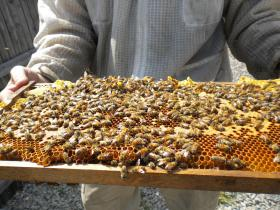 Inspecting honeybee hive frames at the Homewood Apiary.