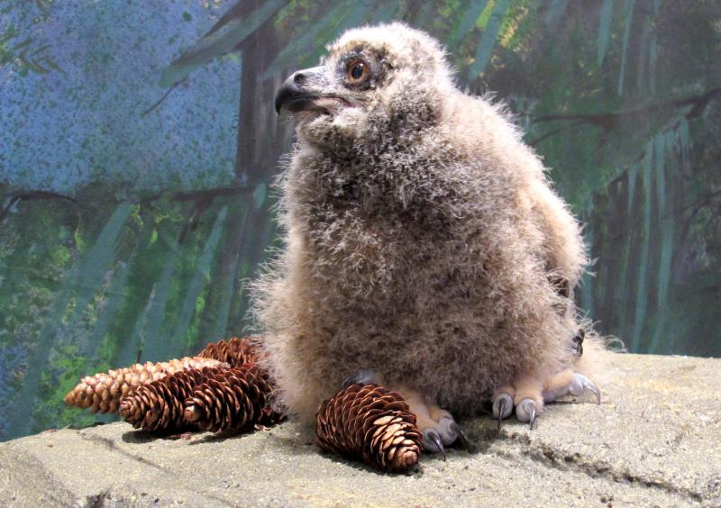 The yet-to-be-named baby owl