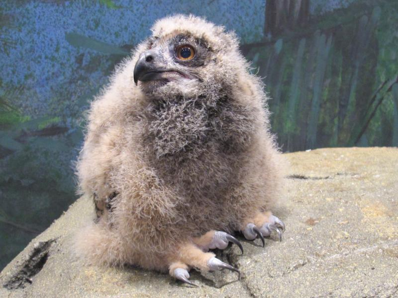 A 28-day-old Eurasian Eagle Owl makes her debute at the National Aviary. They grow quickly — this girl will be full-grown by the end of May.
