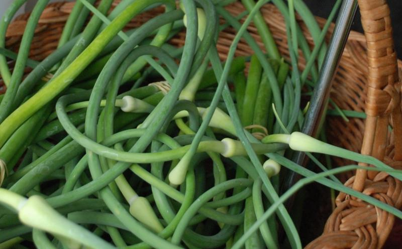 Garlic Scapes at Enon Valley Farm