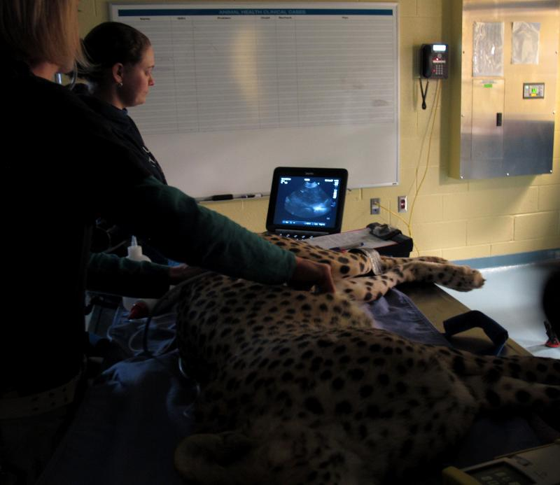 Zoo veterinarians take ultrasounds of the cheetah.