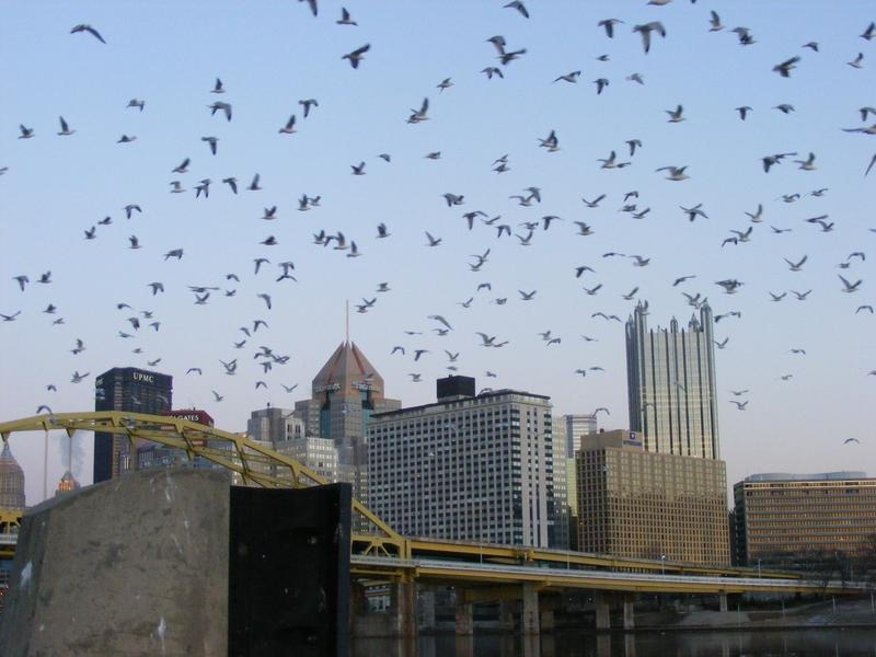 A rare sight: Gulls take flight against a backdrop of downtown Pittsburgh.