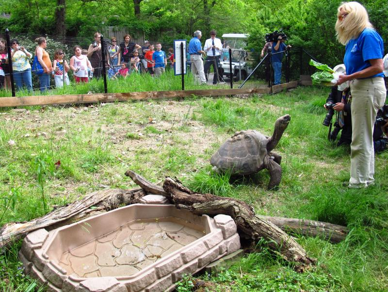 One of the tortoises reaches out for a lettuce treat.