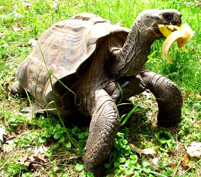 This tortoise is enjoying a banana treat.
