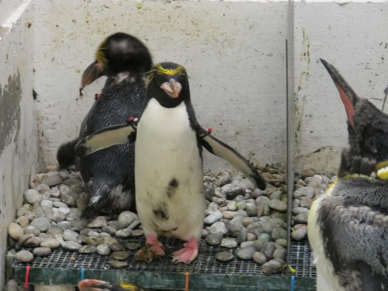 The parents, Zucca and Flurry, are protective of the chick and guard it from other curious penguins.