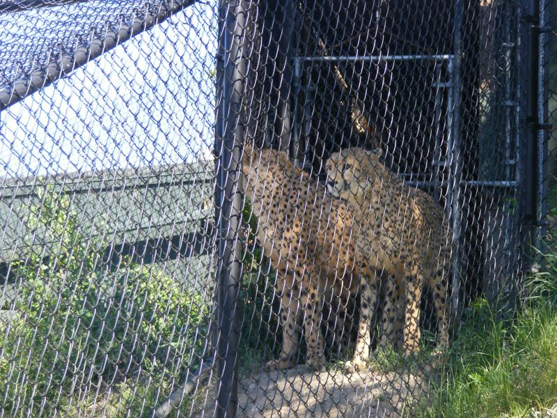 Two of the cheetahs prepare to leave their temporary habitat.