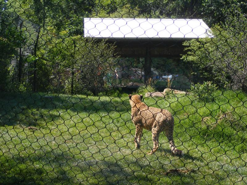 One of the cheetahs explores the new space