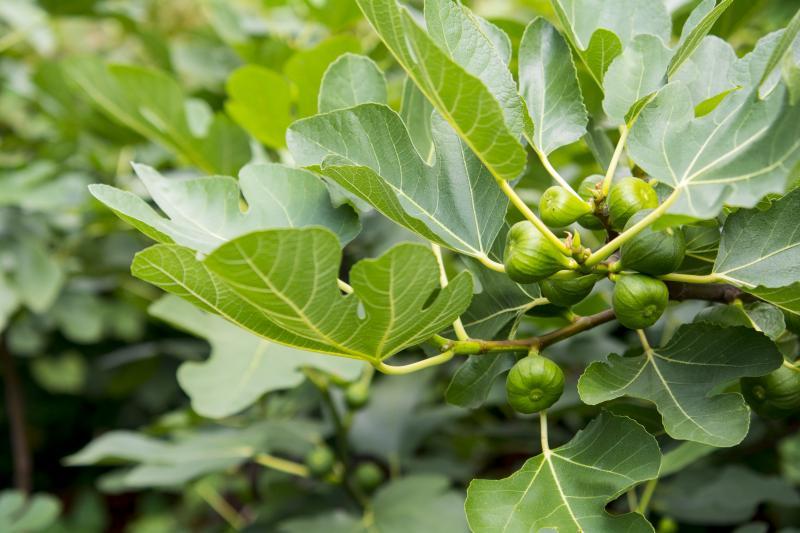 Fig tree up close