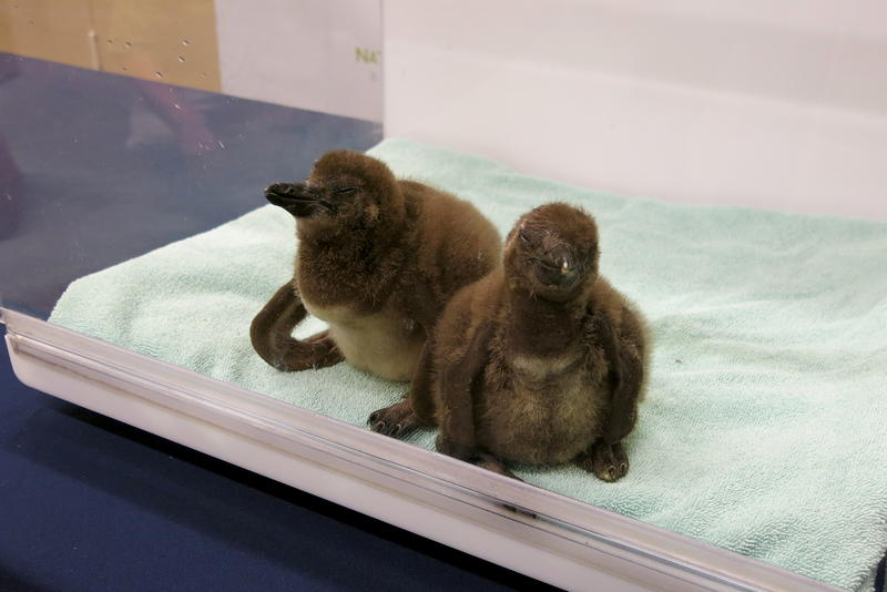 The newest members of the National Aviary's African penguin family.