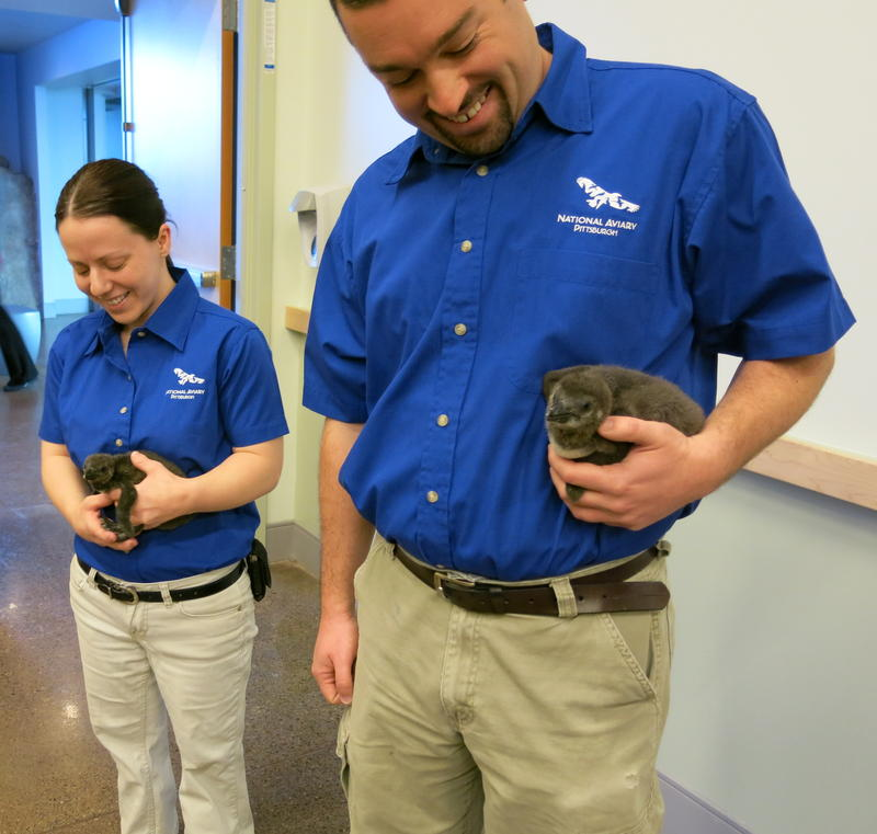 Aviculturists Anna Steffenauer and Chris Gaus carry two recently hatched African penguins.