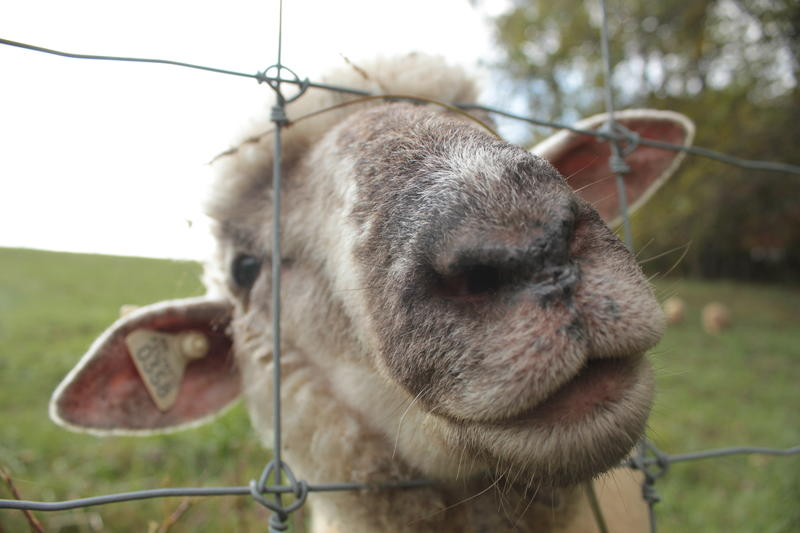 A curious Dorset sheep investigates a visitor at Georgie Korvacosky's Three Cheers Farm.