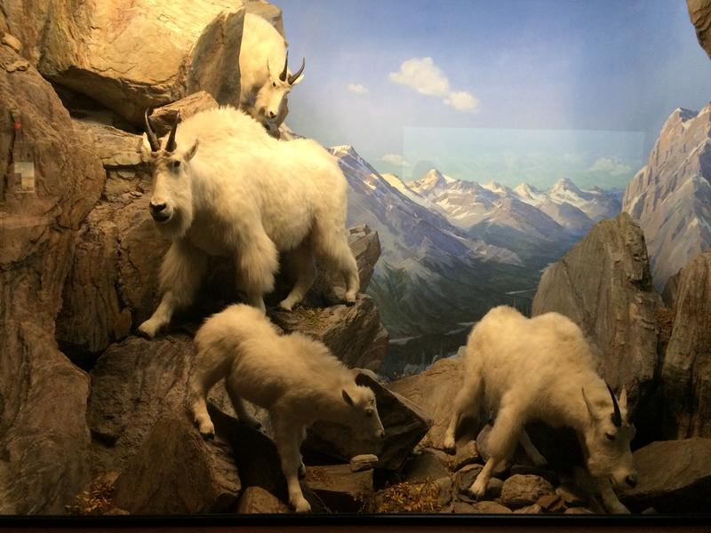 Mountain goats clamber up and down rock cliffs in the Hall of North American Wildlife at the Carnegie Museum of Art.