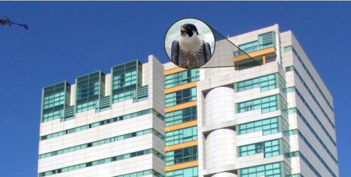 A pair of peregrine falcons returned to their nest on the 15th floor of the Rachel Carson State Office Building in Harrisburg just in time for Valentine's Day. State DEP officials launched a new website and year-round live feed of the ledge on Friday.