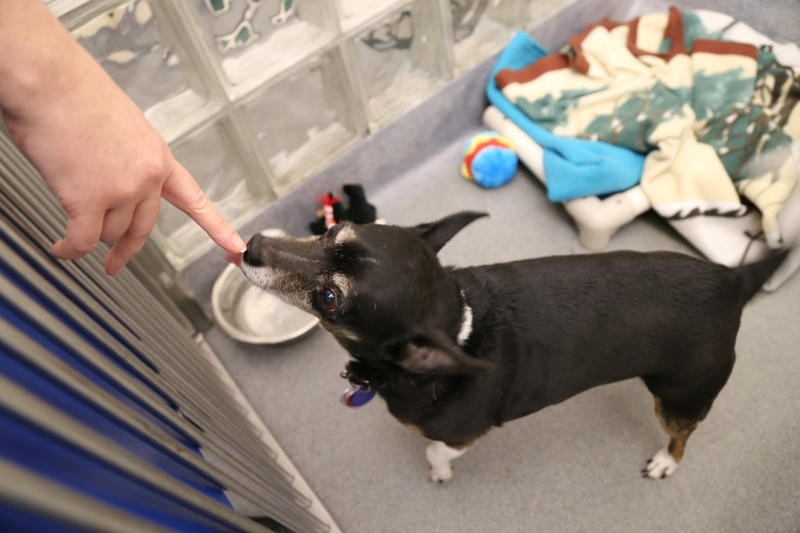 Princess, a 9-year-old female. She's a chihuahua taken in by the Humane Society March 14.