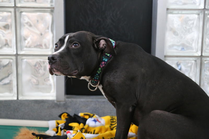 Girl, a 2-year-old pit bull mix. Girl has been at the Humane Society since Feb. 5.