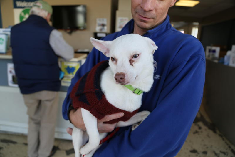 Mookie, a 2-year-old Chihuahua at the Animal Rescue League.