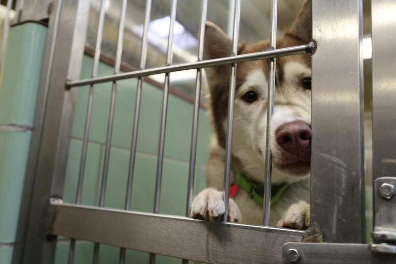 Johnny, a 3-year-old Siberian Husky mix at the Animal Rescue League.