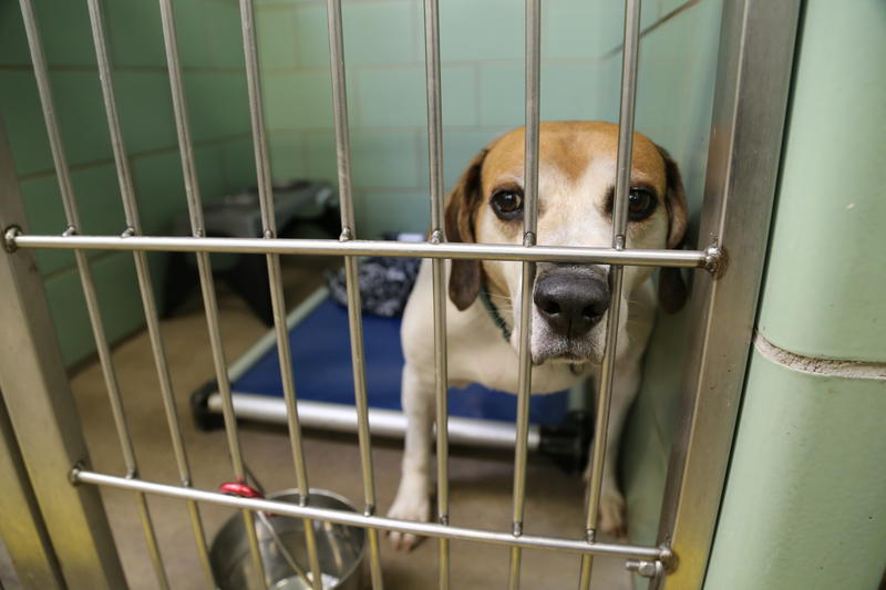 Elvis, a 6-and-a-half-year-old male hound mix at the Animal Rescue League.