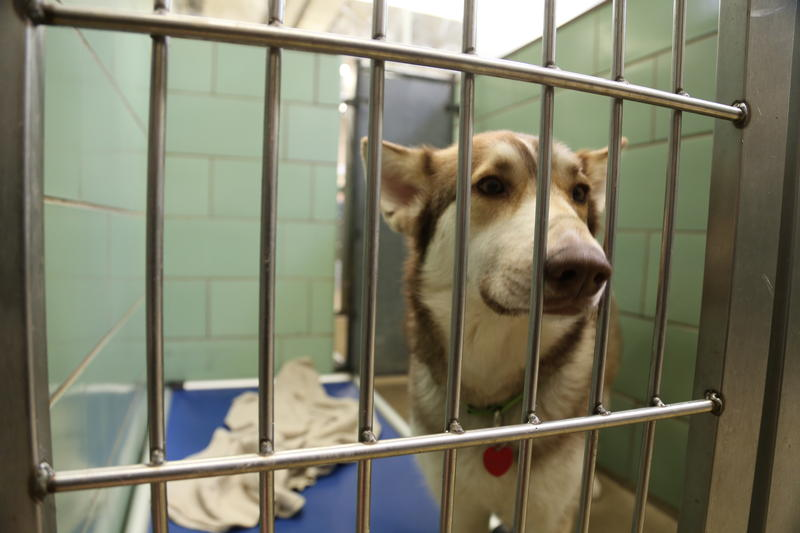 June, a 3-year-old female Siberian husky mix at the Animal Rescue League.