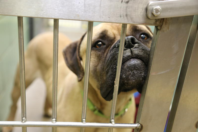 Logan, a 2-year-old male mastiff at the Animal Rescue League.