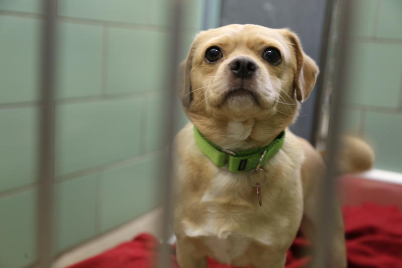 Jake, a 6-year-old male pug mix at the Animal Rescue League.