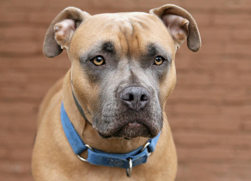 Nyx, a 2-year-old pit bull mix at the Western PA Humane Society.