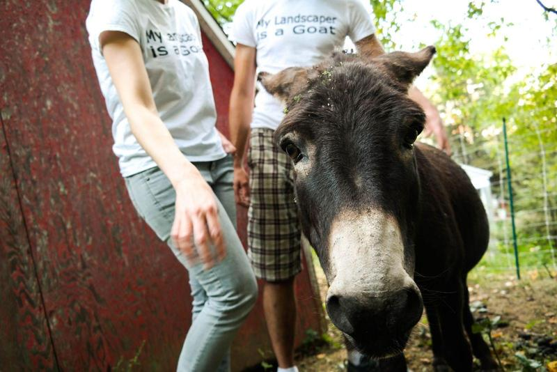Hobo, a guardian donkey, often keeps tabs on Arlington Acres' landscaping goats.